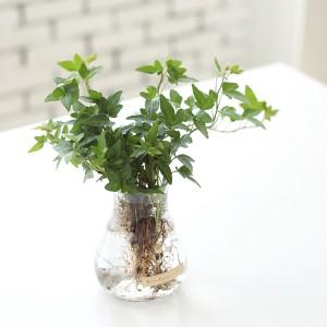 아이비 수경재배 화분