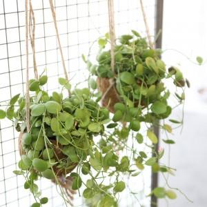 코코팟 디시디아 넘초크 공기정화식물